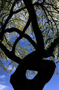 Yoga Tree by Reed Rahn