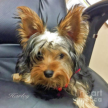 Yorkshire Terrier Harley by Kathy Baccari