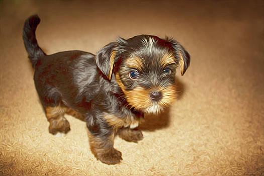 Yorkshire terrier by Tatiana Tyumeneva