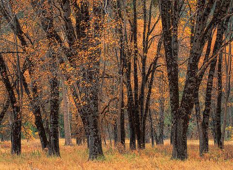 Yosemite Black Oaks by Tom Kidd