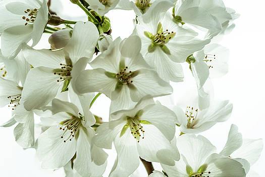 Yoshino Cherry Blossoms  by Jay Stockhaus