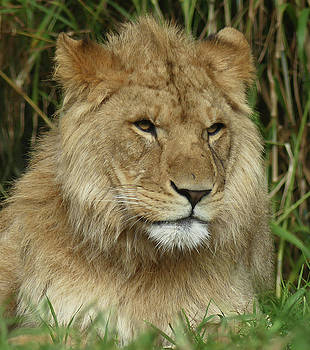 Young African Lion by Margaret Saheed