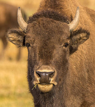 Randy Straka - Young American Buffalo - Bison