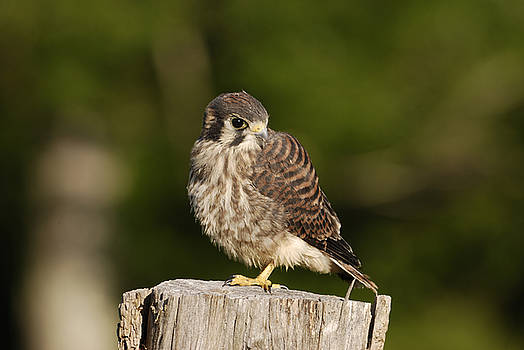 Young American Kestrel by Randy Bodkins