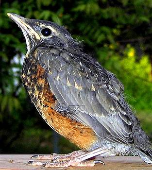 Young American Robin by Will Borden