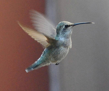 Young Anna's Hummingbird In Flight by Jay Milo