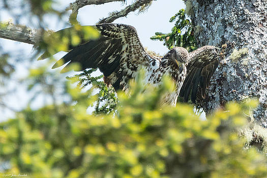Young Bald Eagle by John Pavolich