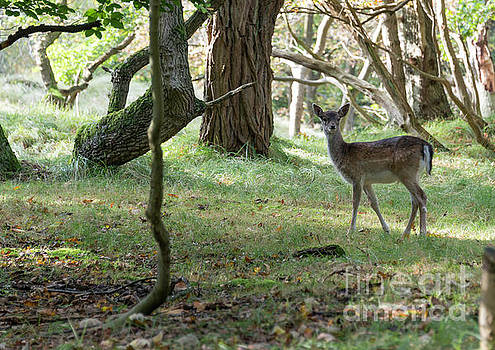 Compuinfoto - young bambi deer