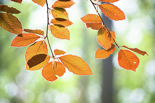 Young Beech Leaves by Hans Engbers