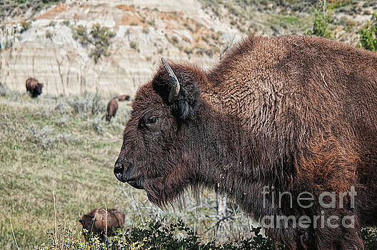 Young Bison by Craig Leaper