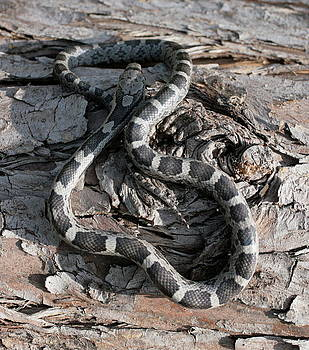 Young Black Rat Snake  by Matt Cormons