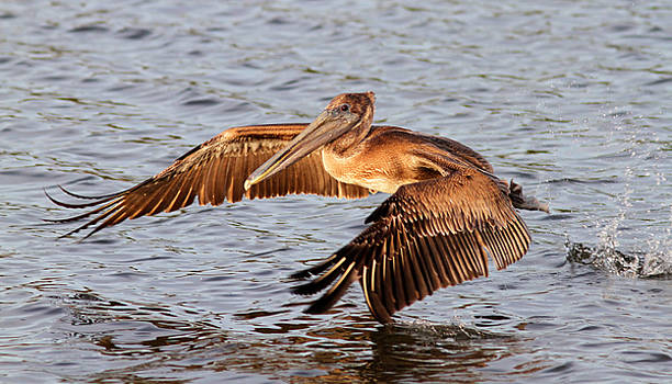 Young Brown Pelican Jumps Off by Phil Lanoue