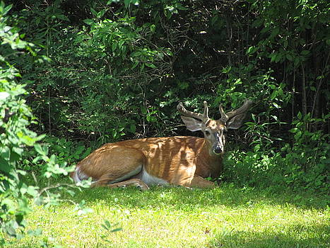 Betty Pieper - Young Buck Resting in the Shade