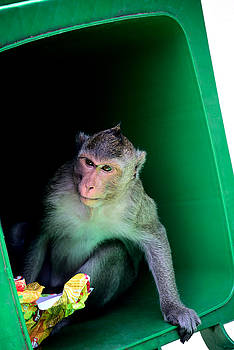 Young cambodian monkey in garbage been by Mirko Dabic