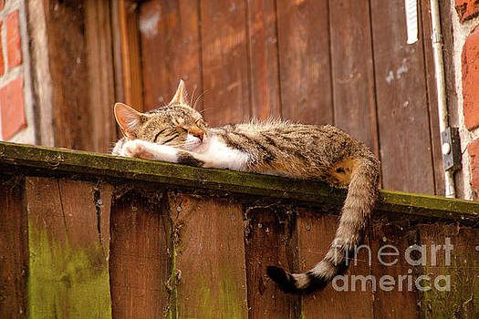 Young cat laying on a wooden wall by Amanda Mohler