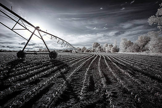 Young Corn Infrared by Notley Hawkins