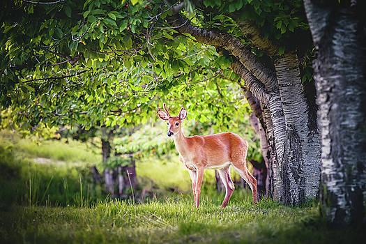 Young Deer Buck by Debi Bishop