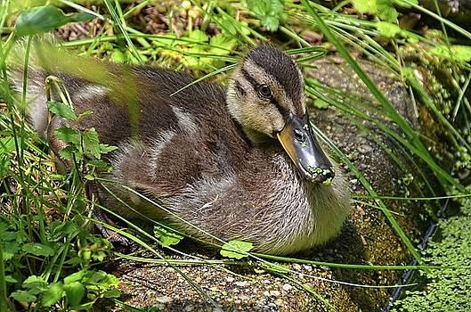 Young duck by Ronda Ryan