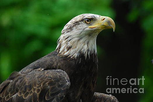 Young Eagle by LeRoy Jesfield
