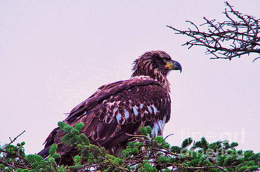 Young eagle perched by Jeff Swan