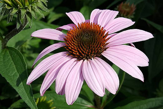 Young Echinacea Bloom by Tammy Finnegan