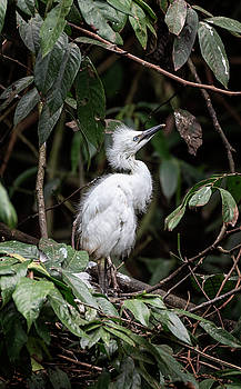 Young Egret Costa Rica by Joan Carroll