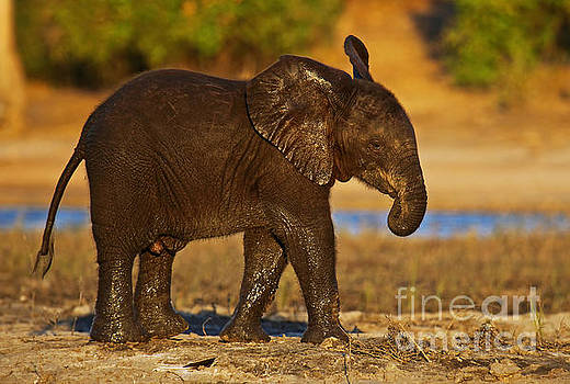 young elephant in the evening light at Chobe, Botswana by Wibke W
