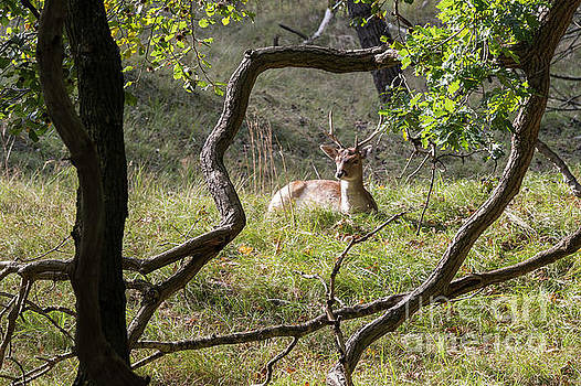 Compuinfoto - young fallow deer in Holland