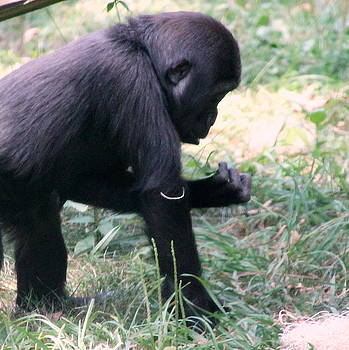 Young Gorilla by Laurel Talabere