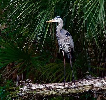 Young Great Blue Heron by John Kearns