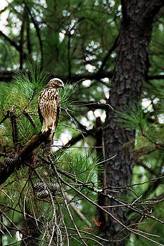Young Hawk on the Prowl by Frank Feliciano