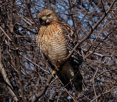 Young Hawk perched by Ronda Ryan