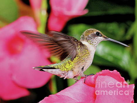 Young Hummer on Pink Flower by Ramona Edwards