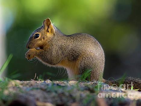 Young Juvenile Squirrel by Bob Marquis