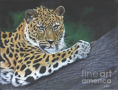 Young Leopard by Sid Ball