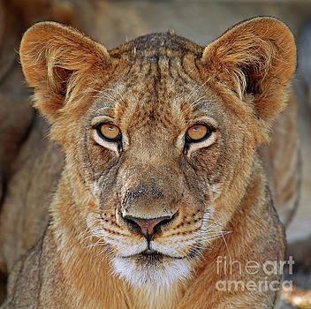 Young lion portrait, Africa wildlife by Wibke W