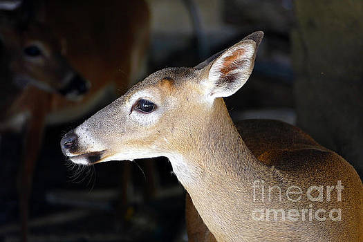 Young Male Florida Key Deer by Catherine Sherman