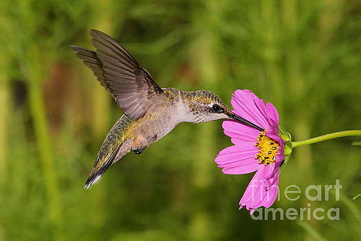 Young Male Hummingbird with Cosmos by Ramona Edwards