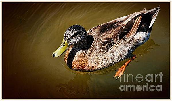 Young Mallard by Pamela Blizzard