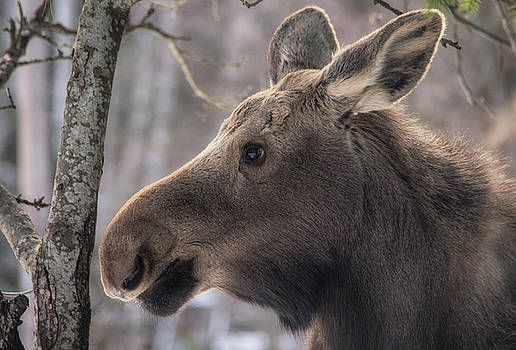 Young moose by Diane Hawkins