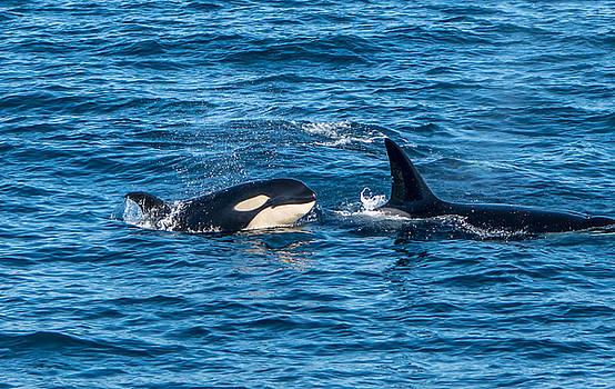 Randy Straka - Young Orca Monterey Bay