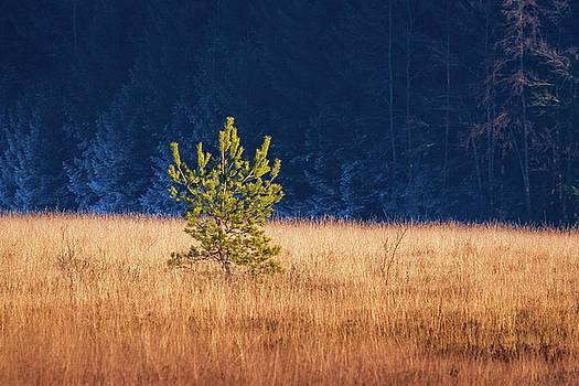 Young Pine in the Marsh by Alexander Kunz