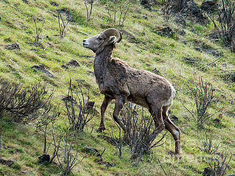 Young Ram Climbing by Mike Dawson