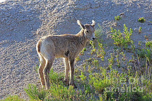 Young Rocky Mountain Bighorn Sheep by Louise Heusinkveld