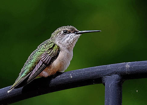 Young Ruby throated hummer by Ronda Ryan