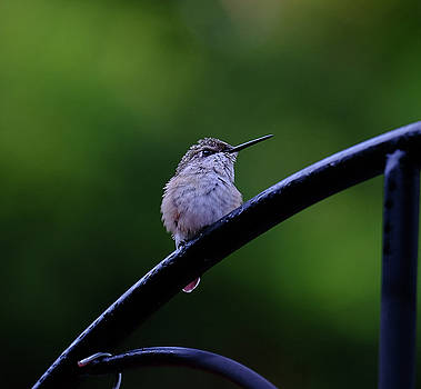 Young ruby-throated hummingbird by Ronda Ryan