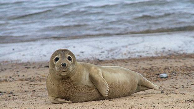 Young seal pup on beach - Horsey, Norfolk, UK by Gordon Auld