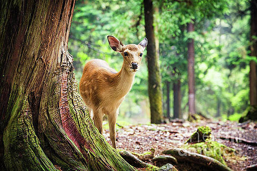 Young sika deer in Nara Park by Jane Rix