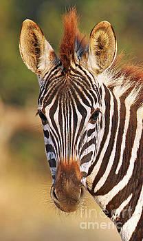 Young zebra, Africa wildlife by Wibke W