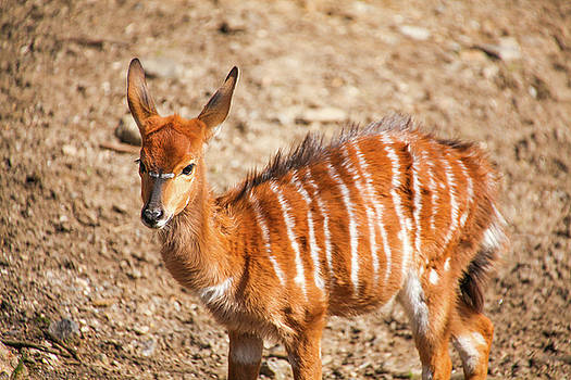 Youngster Nyala by Karol Livote